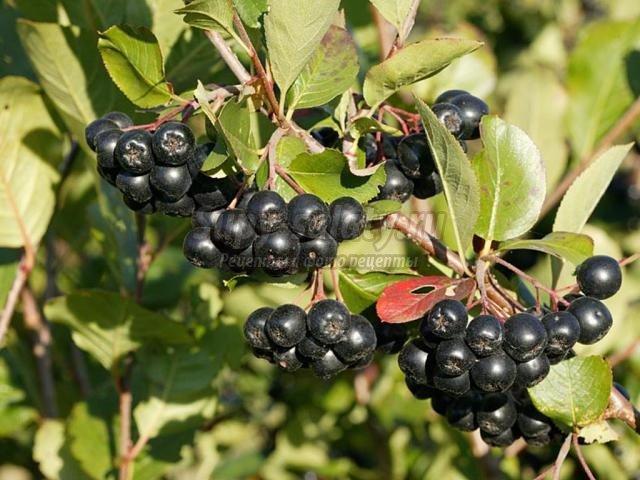 варенье из черноплодной рябины: самые популярные рецепты с фото.