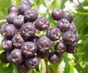 компот из черноплодки: популярные рецепты с фото