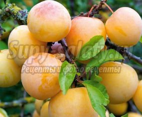 Варенье из желтой сливы без косточек. Вкусные и полезные рецепты